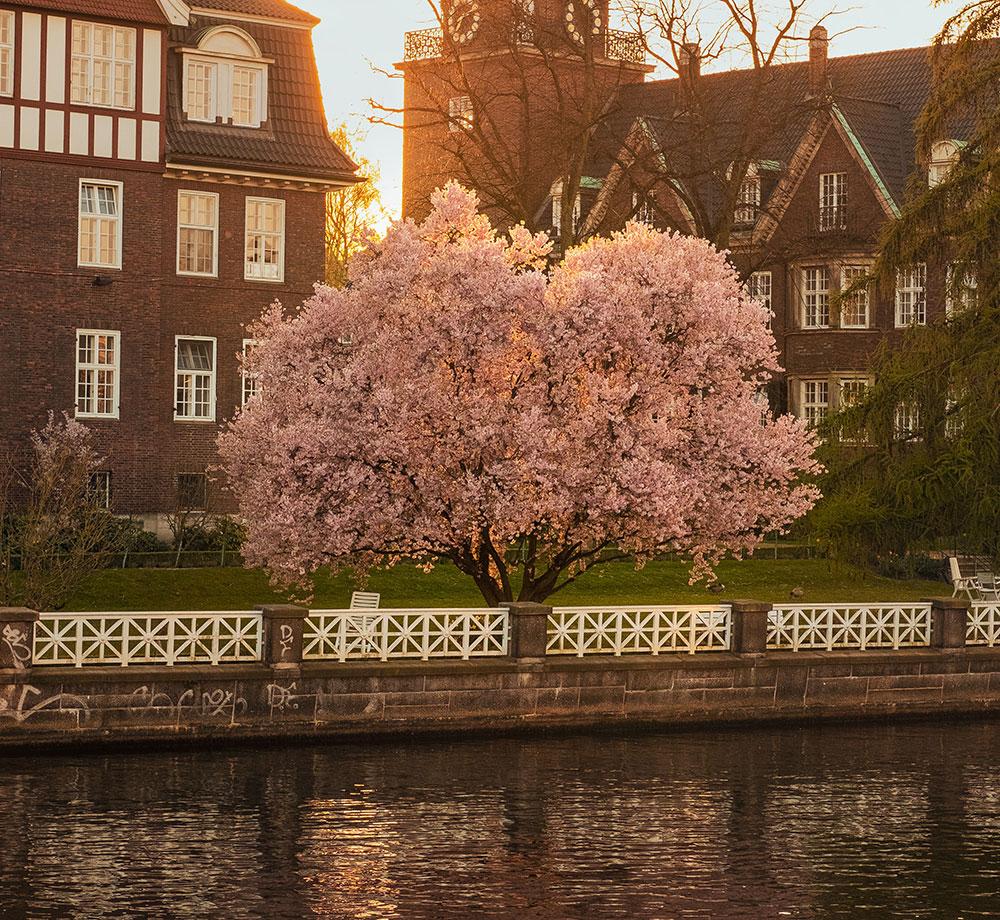 Rosa träd i Hamburg