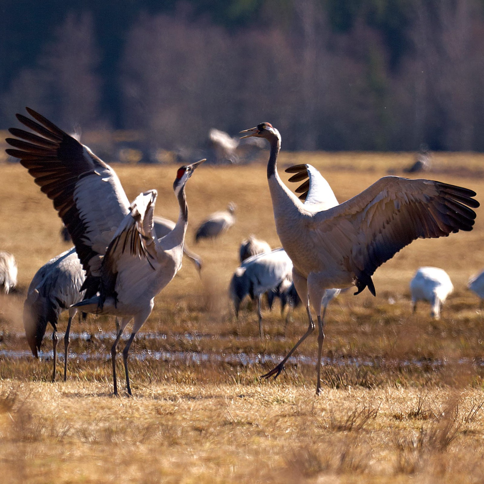 Dancing cranes - Photo Jonas Ingman